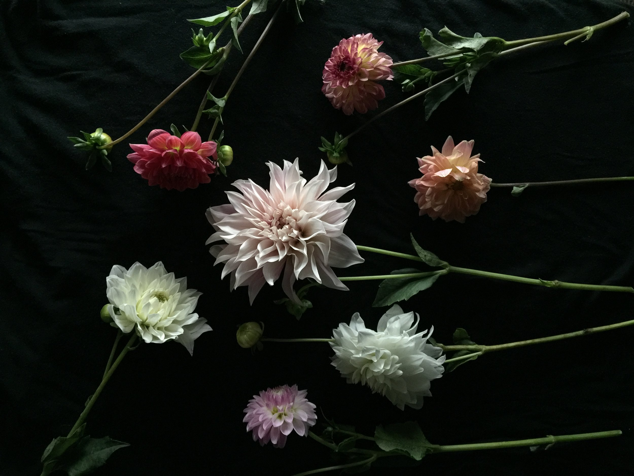 Dahlias, the flower of the ombre season.