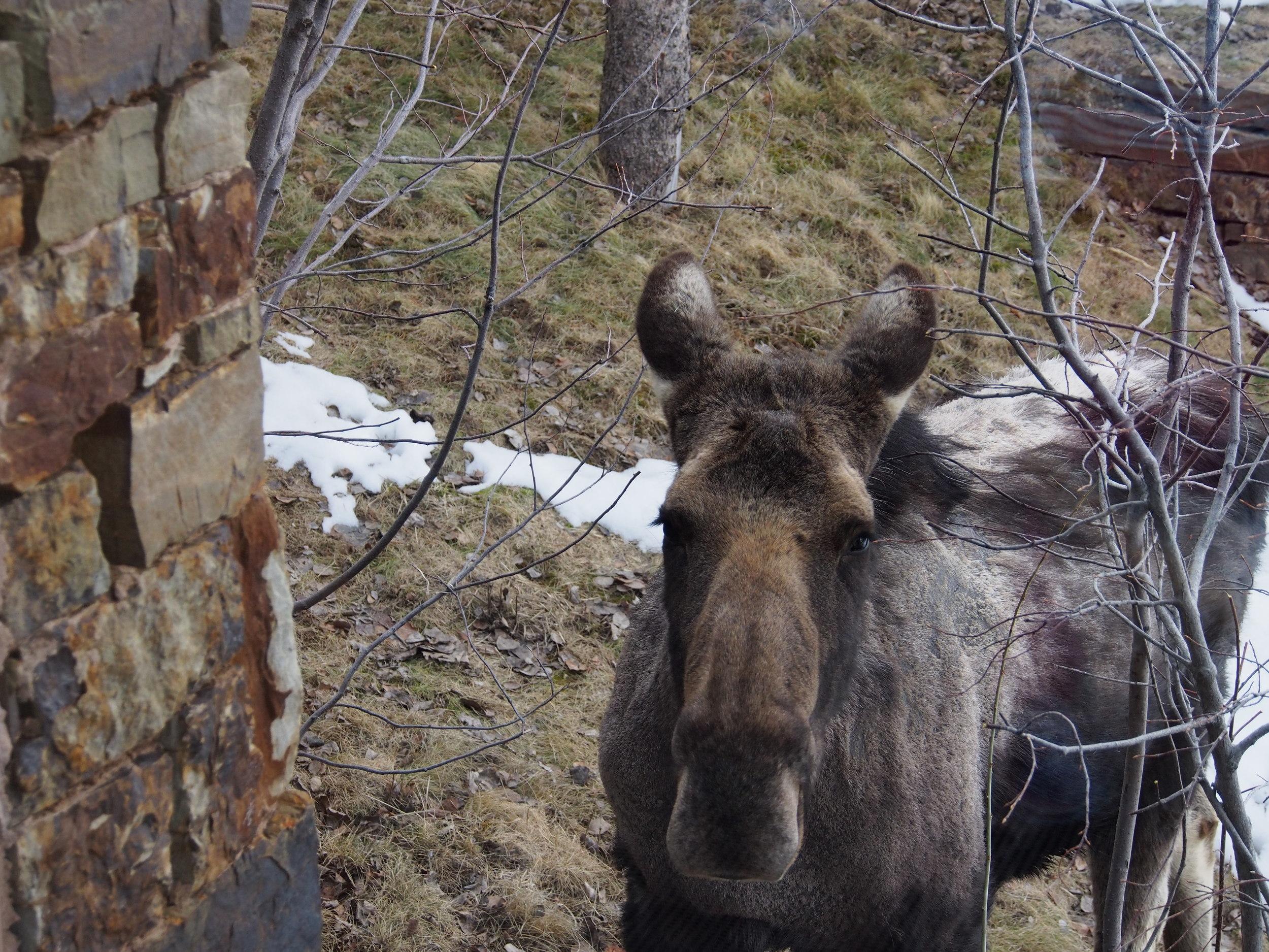 """""""LUCY"""" the moose at AMANGANI Jackson Hole"""