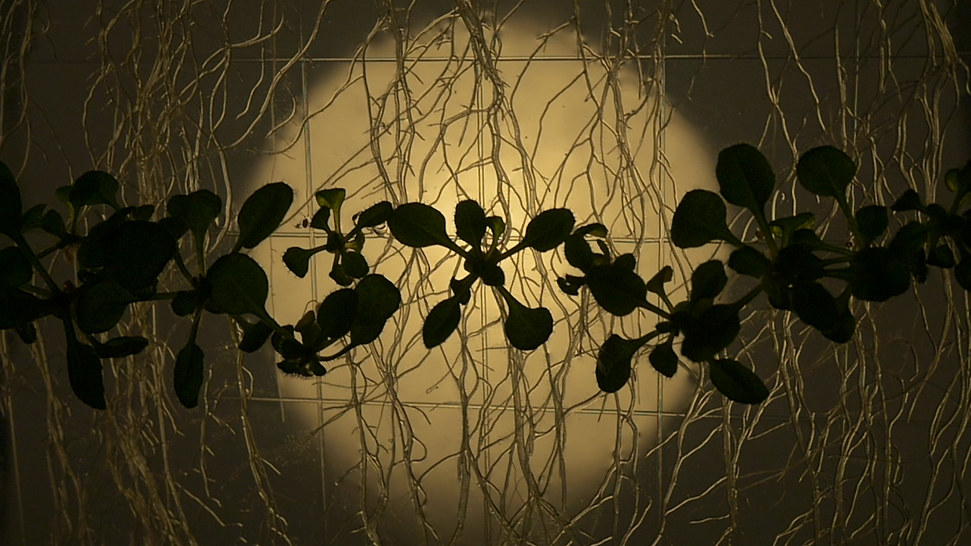Arabidopsis thaliana_Still1_Root Films 2016.png