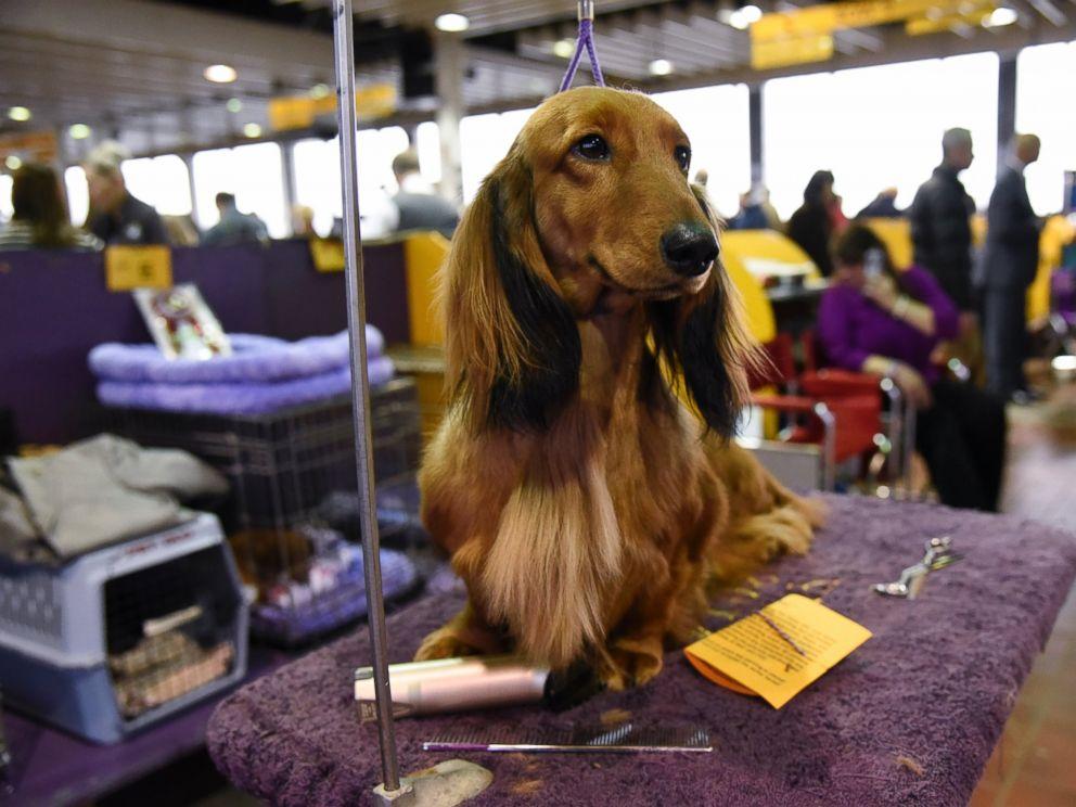 GTY_Westminster_dog_06_mm_160216_4x3_992.jpg