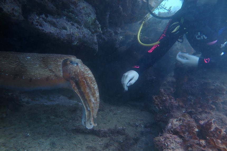 Elle Hunt with an Australian giant cuttlefish at Cabbage Tree Bay, Manly, Sydney. Photograph: Peter Godfrey-Smith