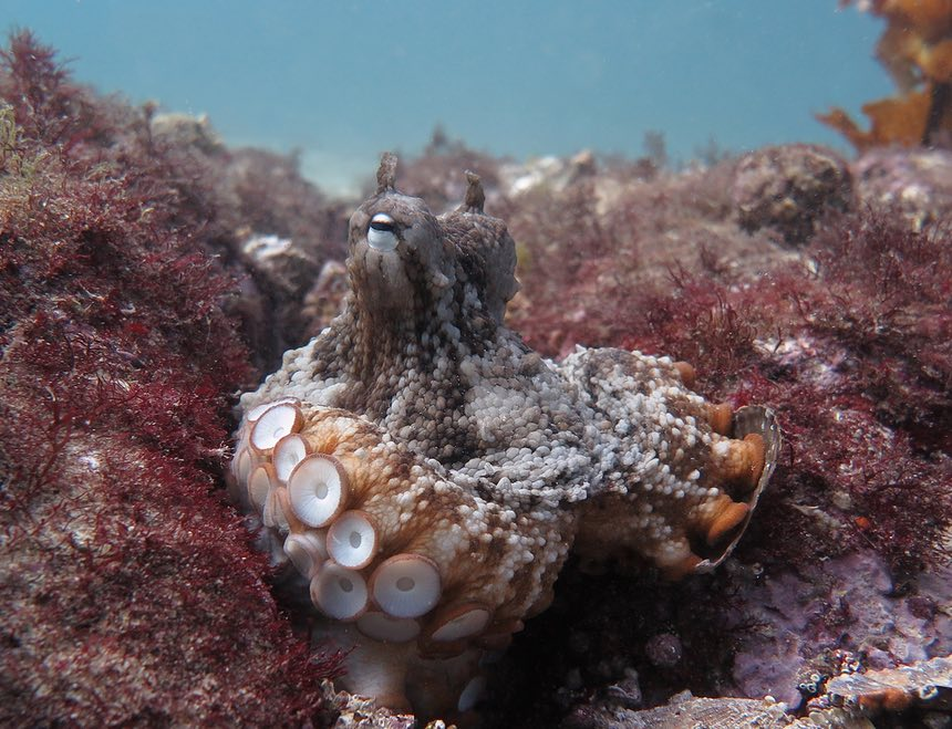 A paradox: octopuses have big brains and short life spans. Photograph: Peter Godfrey-Smith