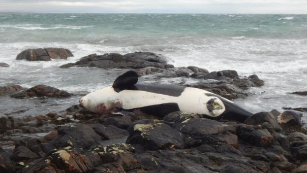 The Scottish orcas have been found to be heavily contaminated.