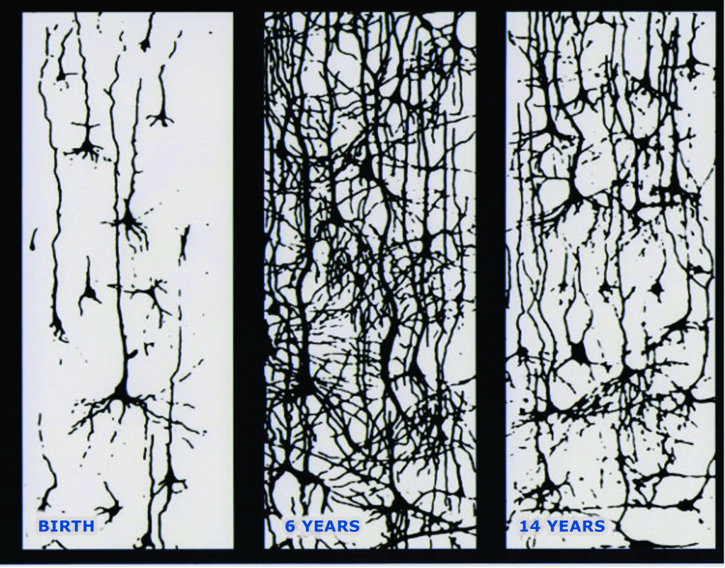 Neural connections in the brain from birth to 14 years  Source: Conel, JL. The postnatal development of the human cerebral cortex. Cambridge, Mass: Harvard University Press, 1959