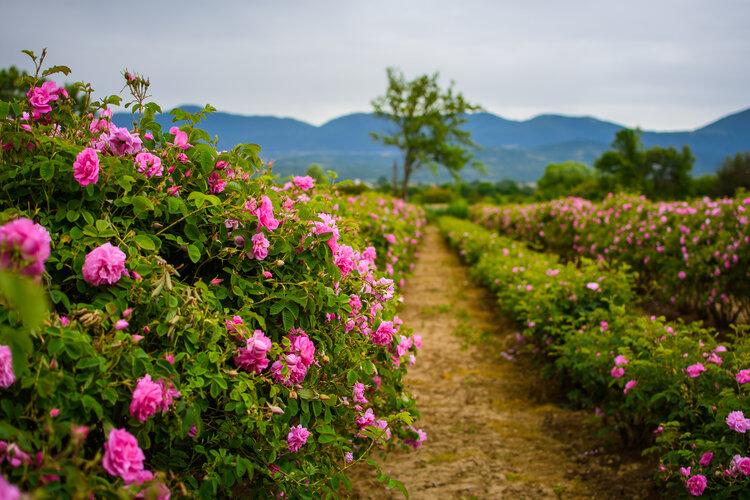 Розовият цвят на роза дамасцена е ключовата висококачествена съставка за производството на българско розово масло, известно по цял свят