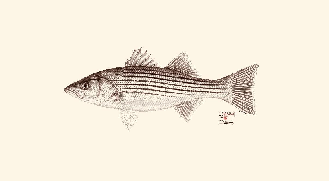 Striped Bass. Copyright Joseph Tomelleri