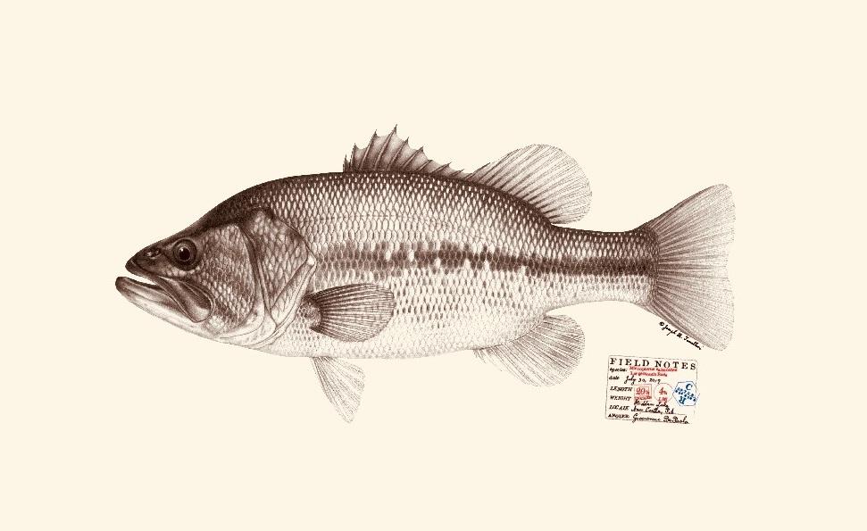 Largemouth bass. Copyright Joseph Tomelleri.