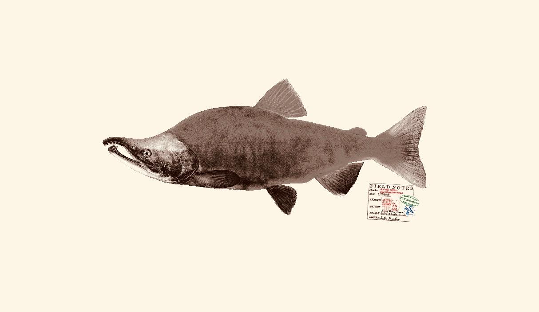 Sockeye salmon. Copyright Joseph Tomelleri.