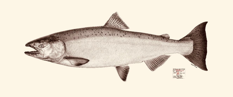 King salmon. Copyright Joseph Tomelleri.