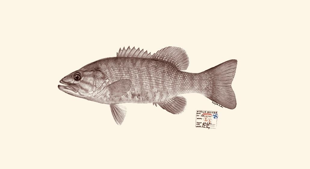 Smallmouth bass. Copyright Joseph Tomelleri.