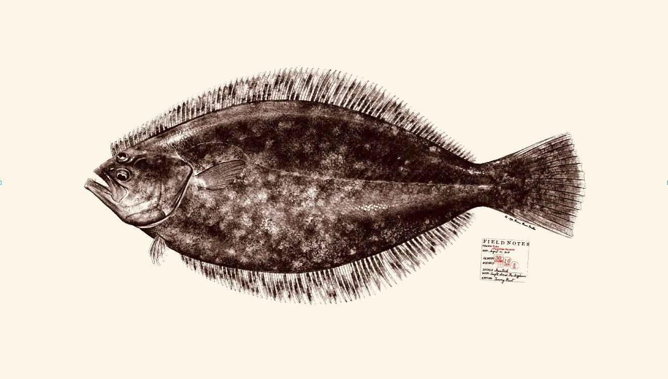 Fluke. Summer flounder. Copyright Diane Peebles.