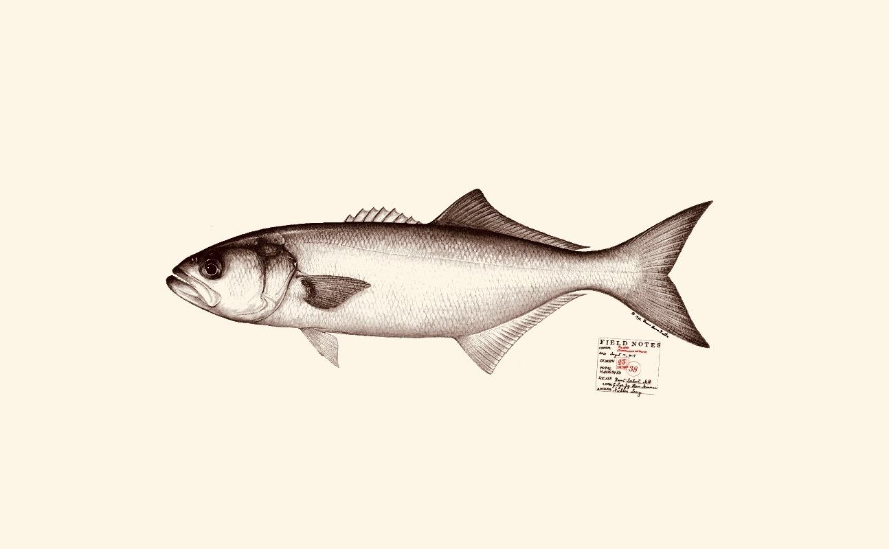 Bluefish. Copyright Diane Peebles.