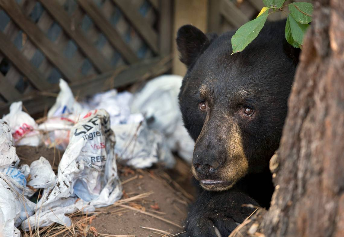black bear truckee