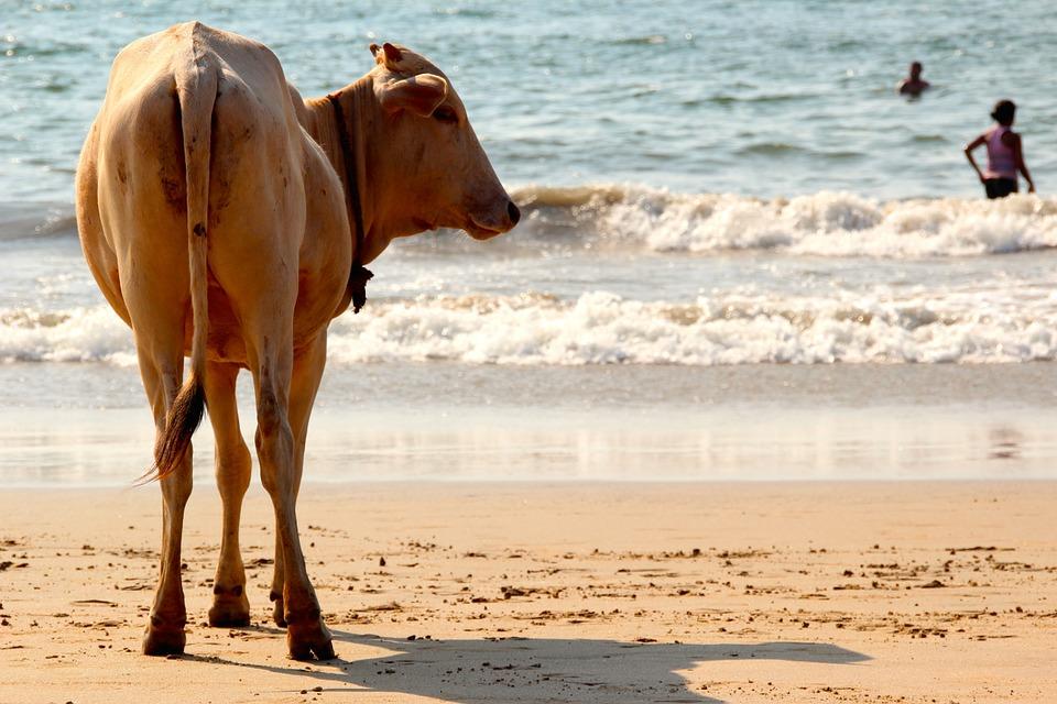 cow-1028432_960_720.jpg
