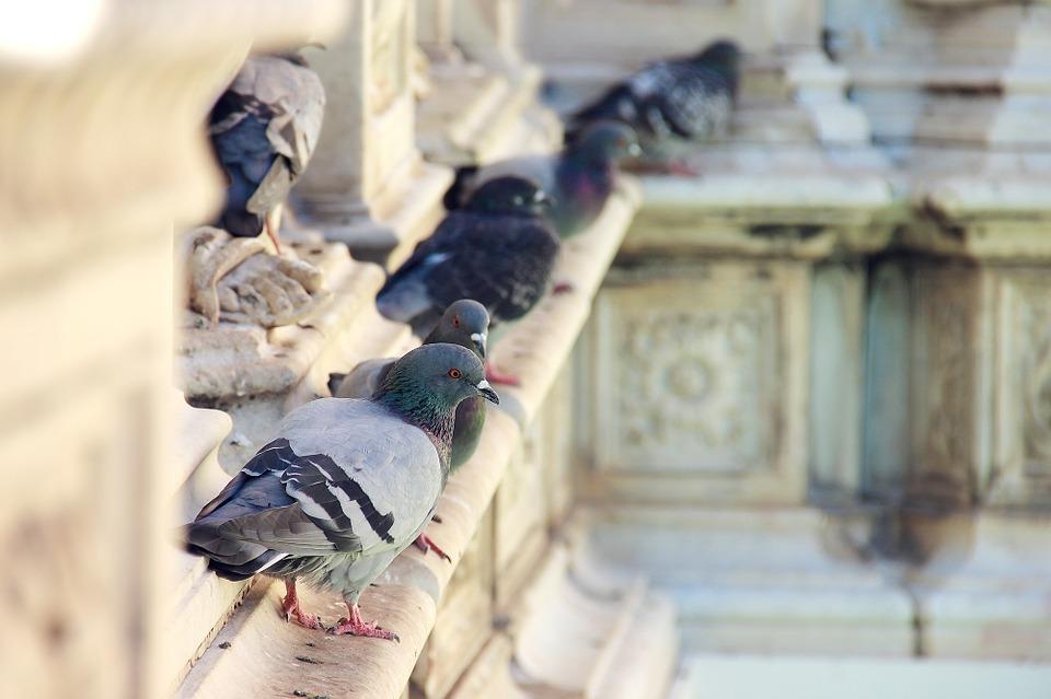 pigeon-634315_960_720.jpg