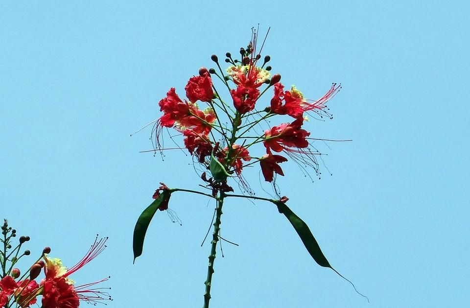 peacock-flower-332297_960_720.jpg