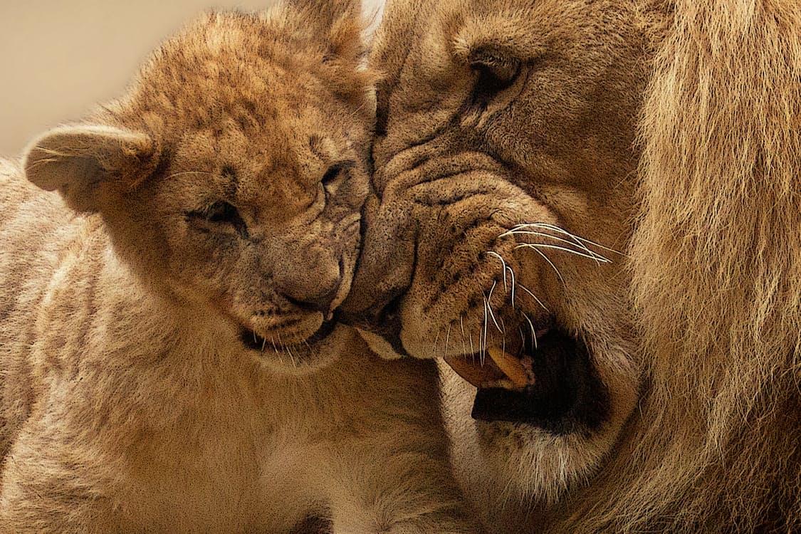 lion-animal-predator-big-cat-40803.jpeg