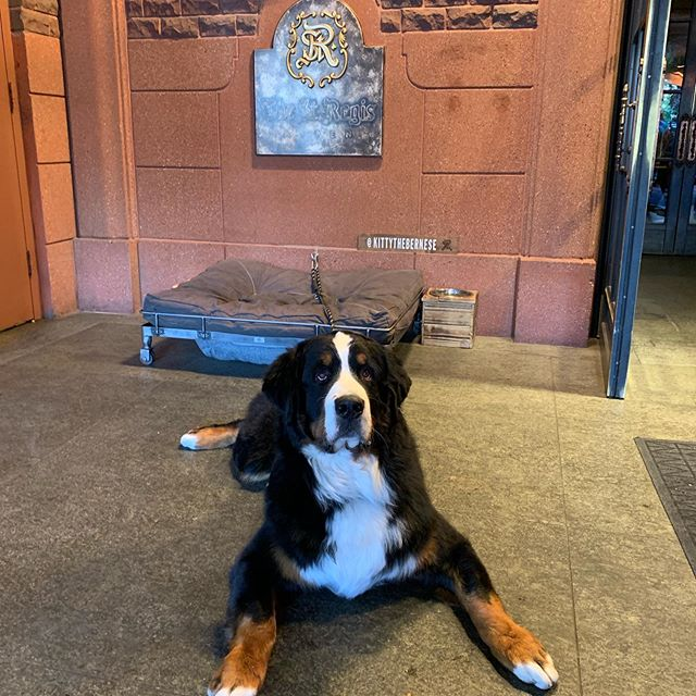 """Dont tell Clementine and Cassidy that i've adopted a new """"friend""""-Kitty, mascot at #stregisaspen"""