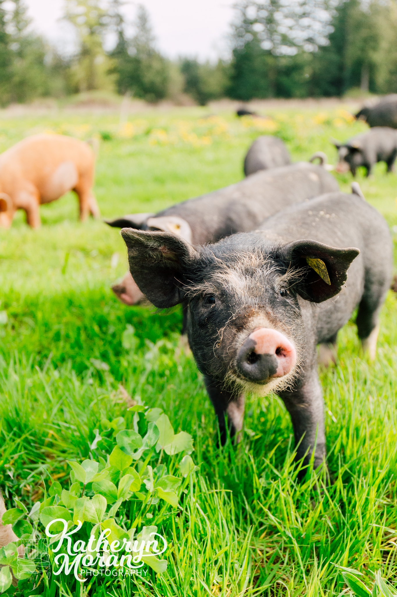 Alluvial Farms pigs on spring pastures