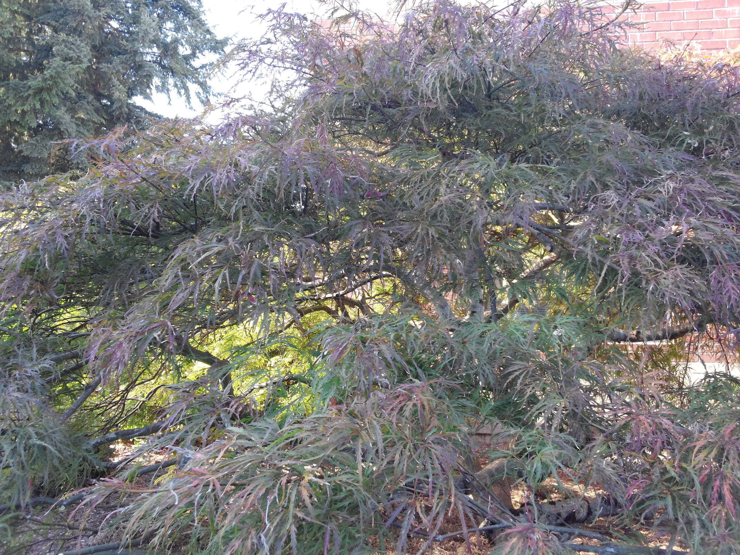 We love to prune Japanese Maples!
