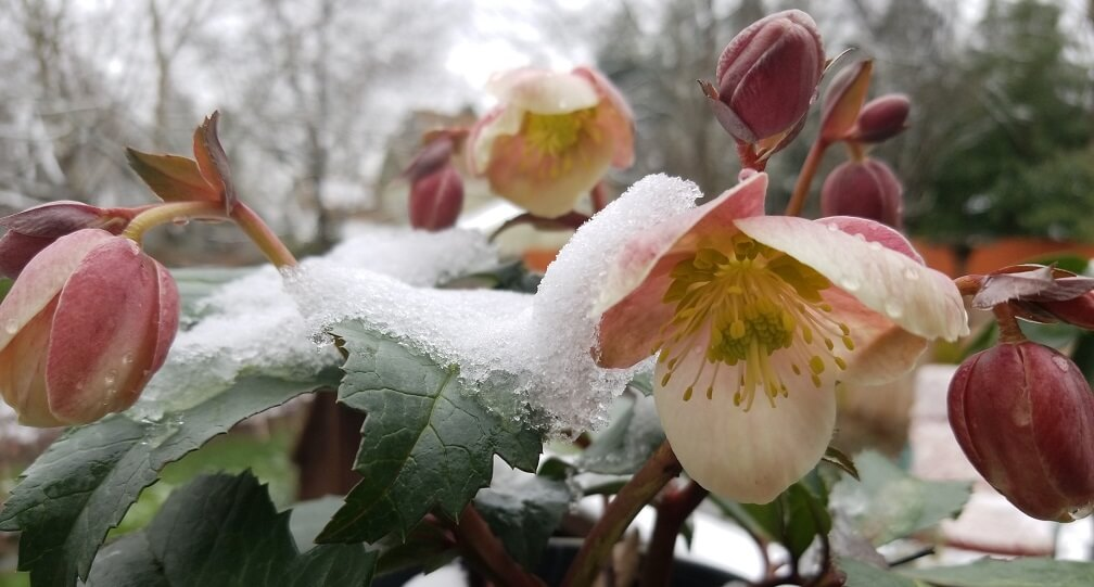 Hellebores - one of the horticultural joys of winter!
