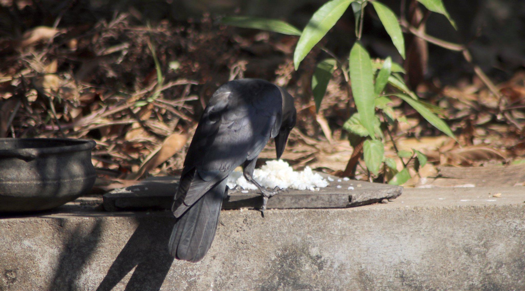 Crow2.jpeg