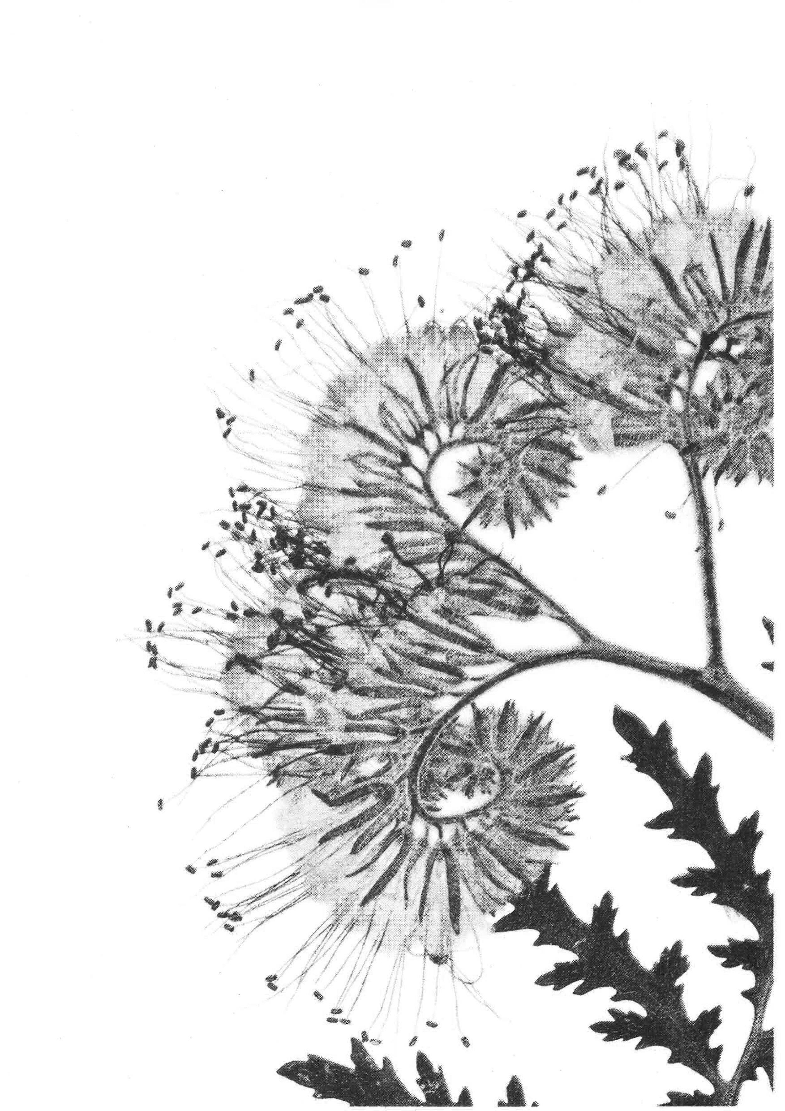 Flower-scan_bw9.jpg