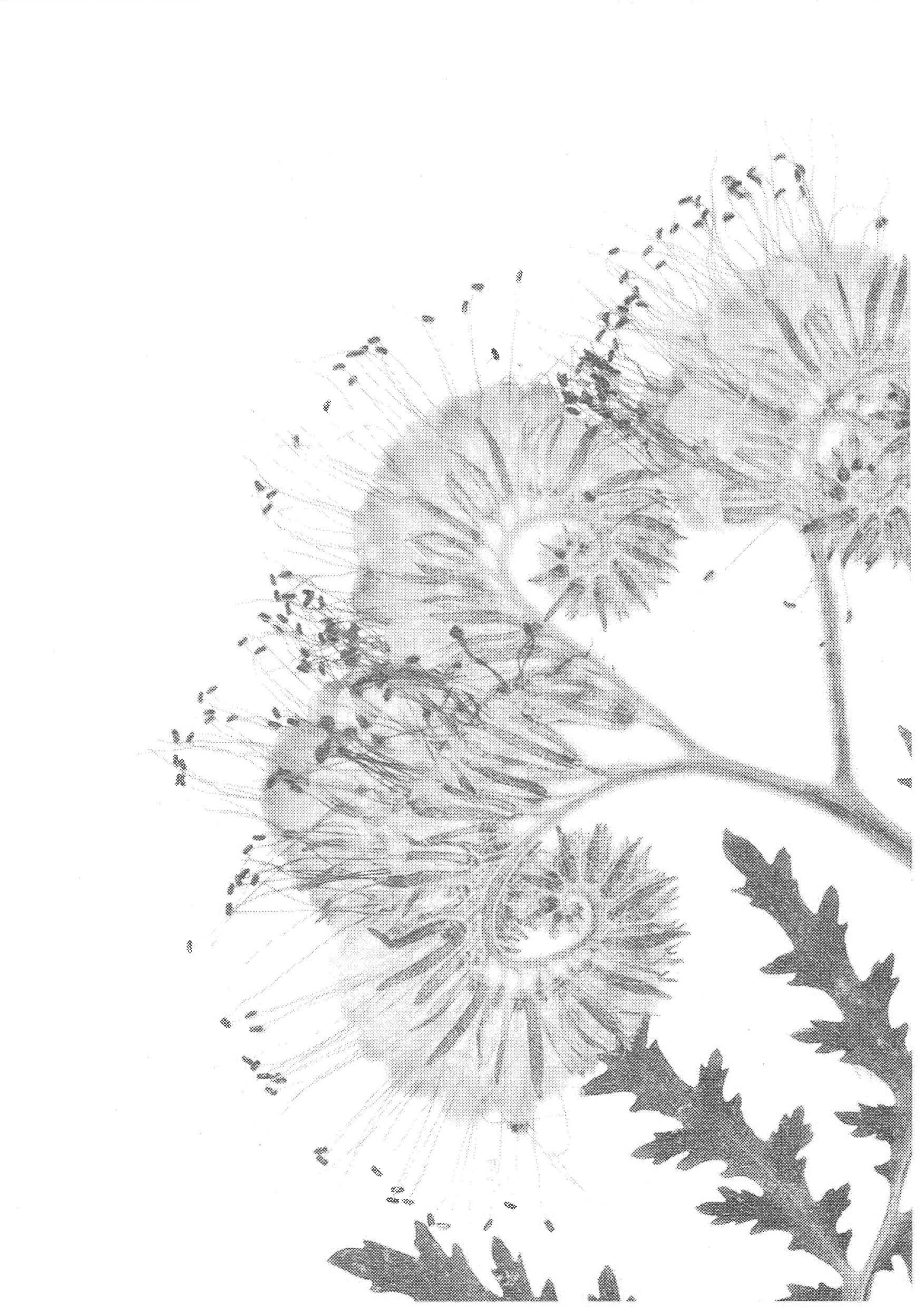 Flower-scan_bw8.jpg