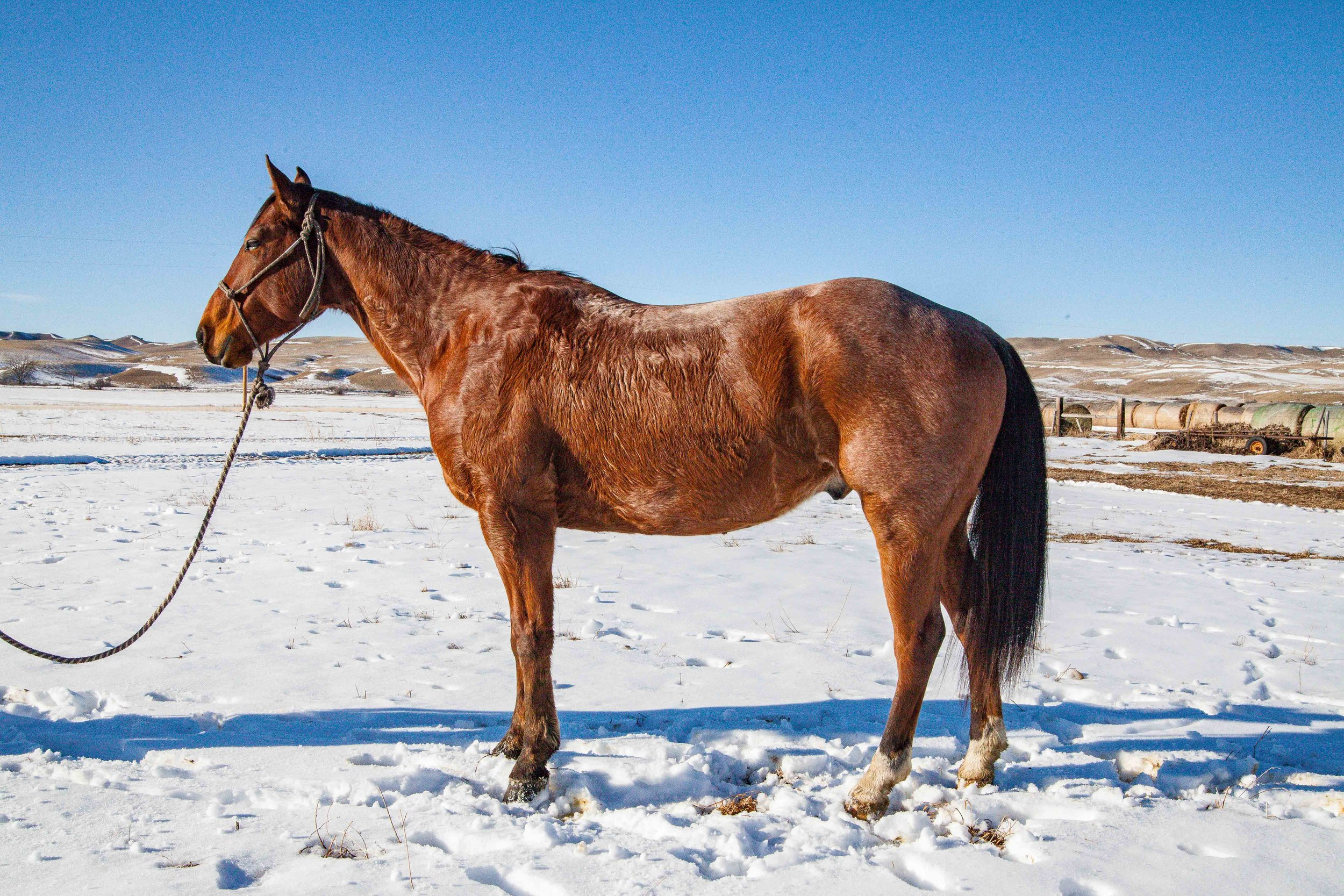 Rawhide's High Roller - Rawhide Quarter Horses