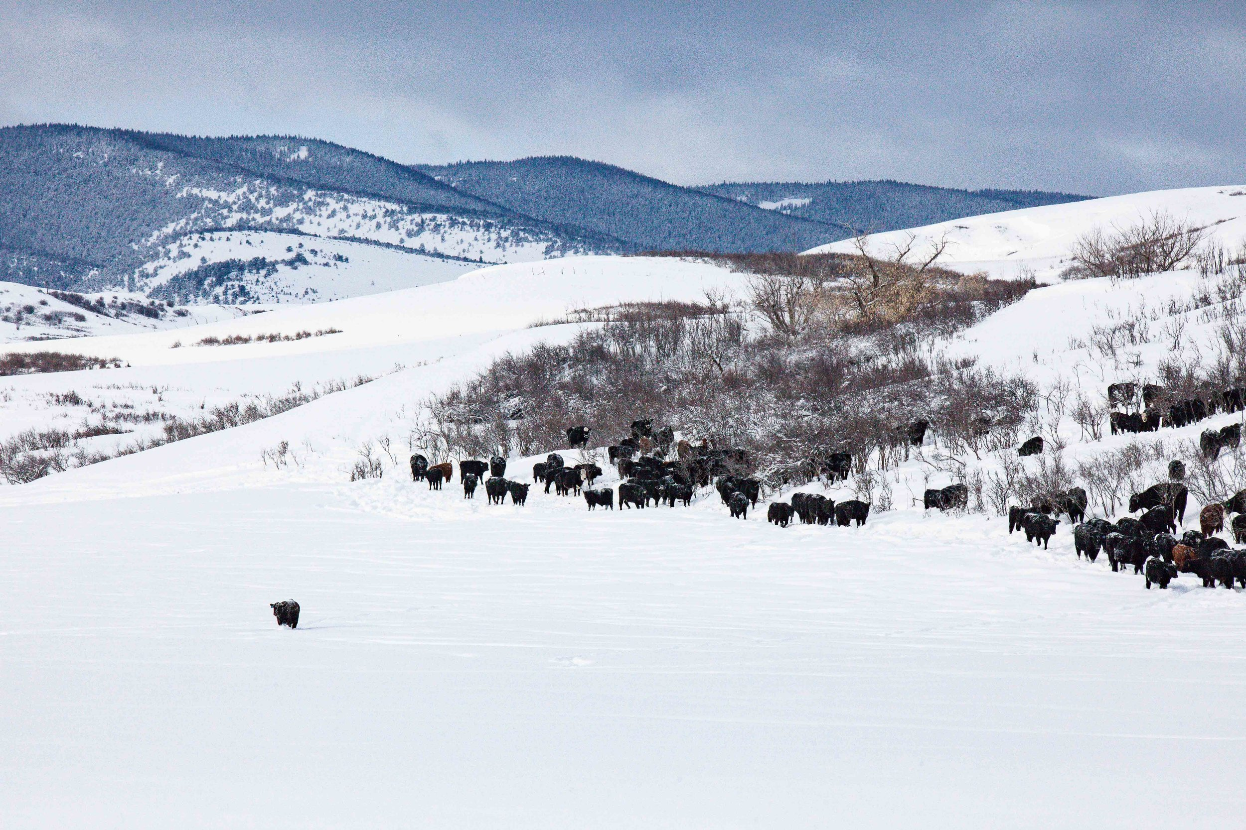Kerns Ranch Cattle - Sheridan Wyoming - Double Rafter Cattle Drives