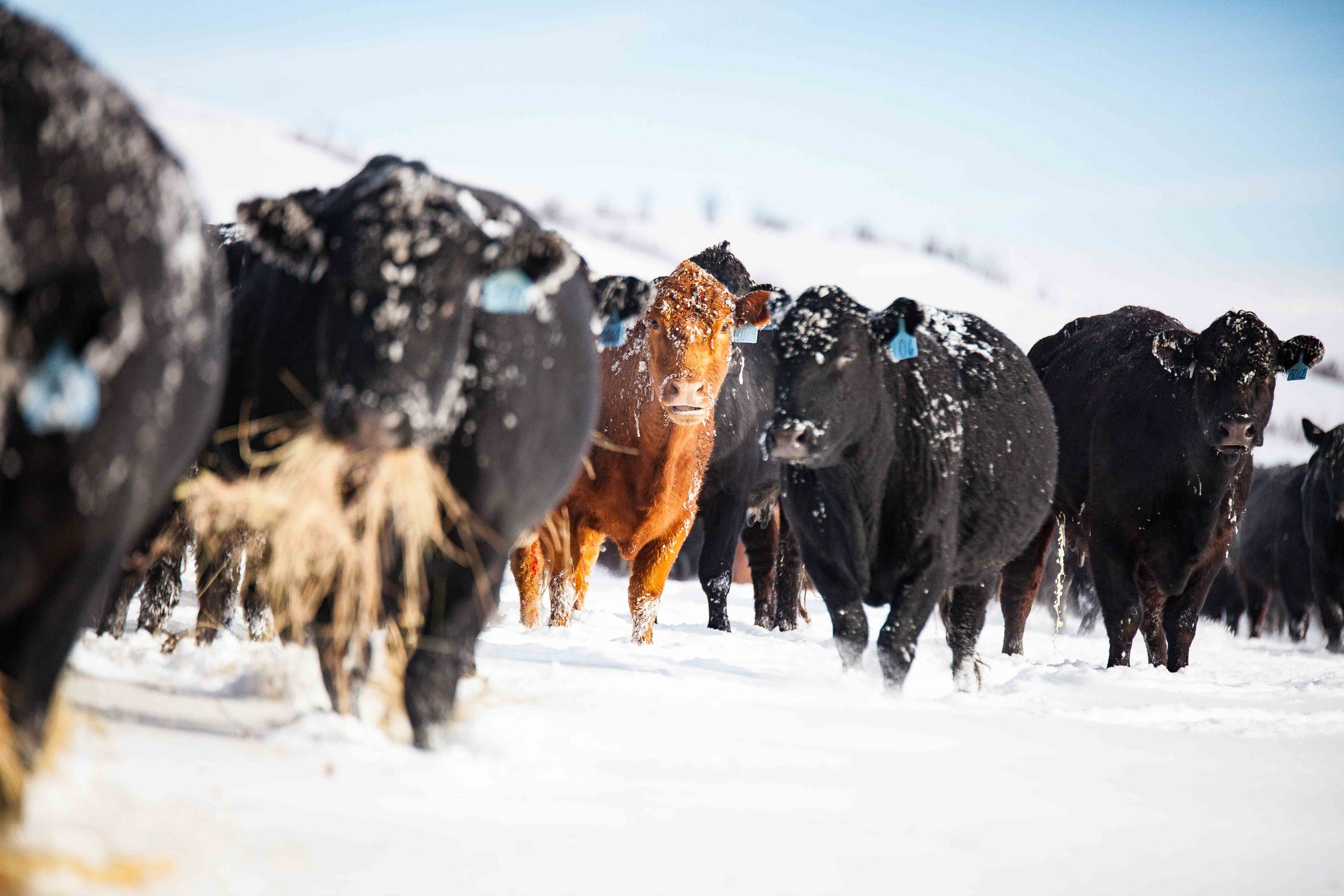 Natural beef ranchers - Truly \ Beef - Wyoming Products