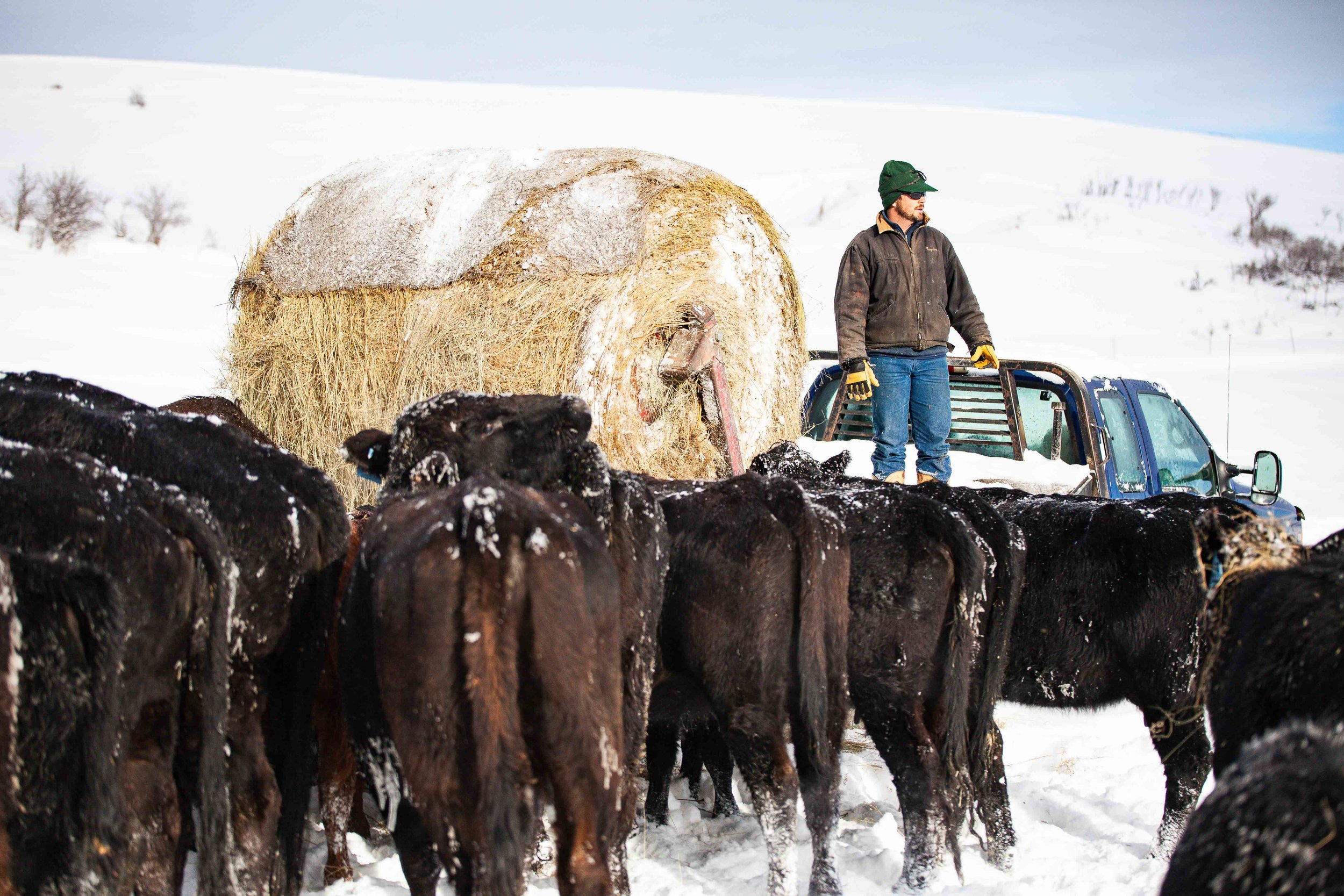 Taylor Kerns feeding his cattle