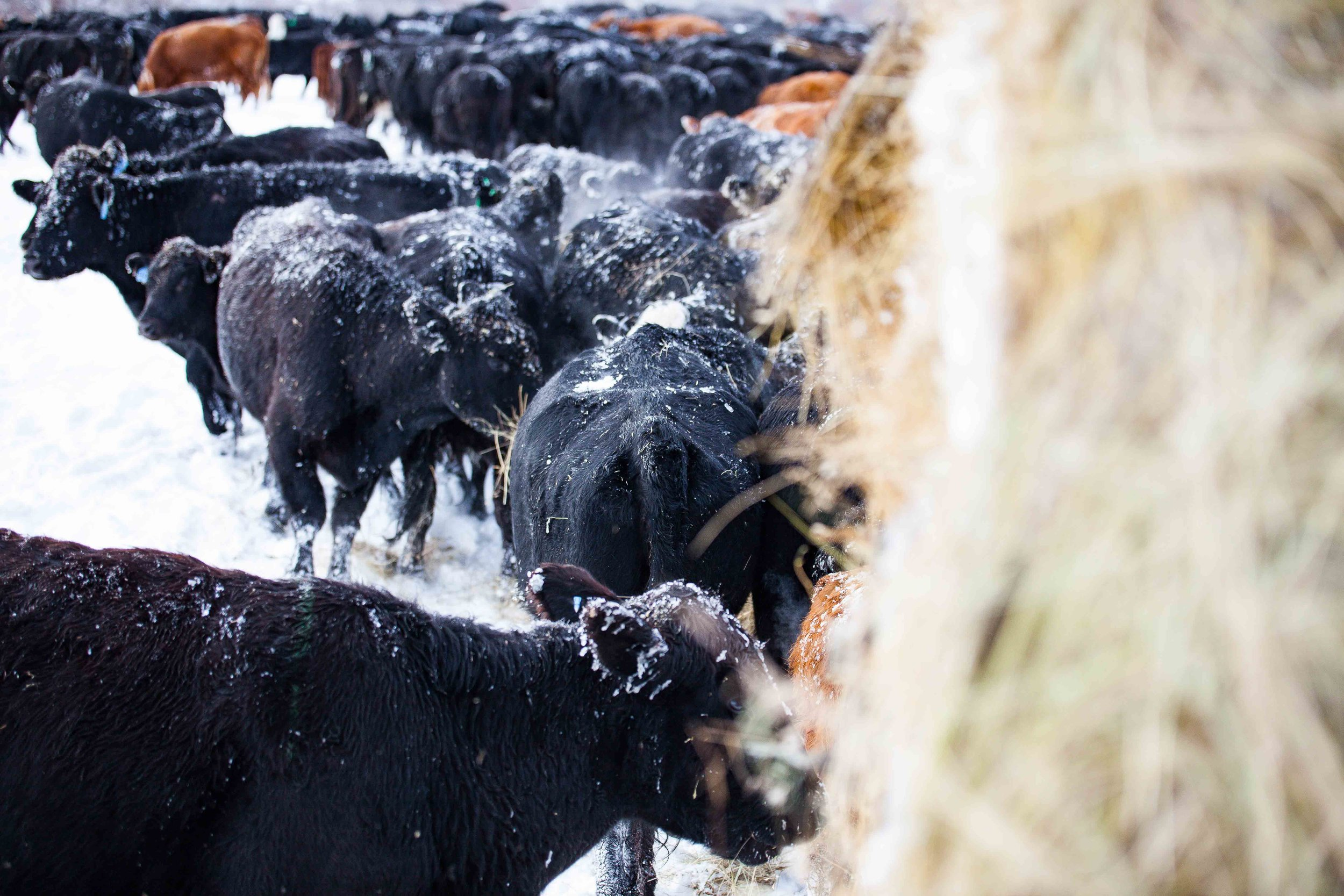 Cows surround the feed truck like a zombie apocalypse.