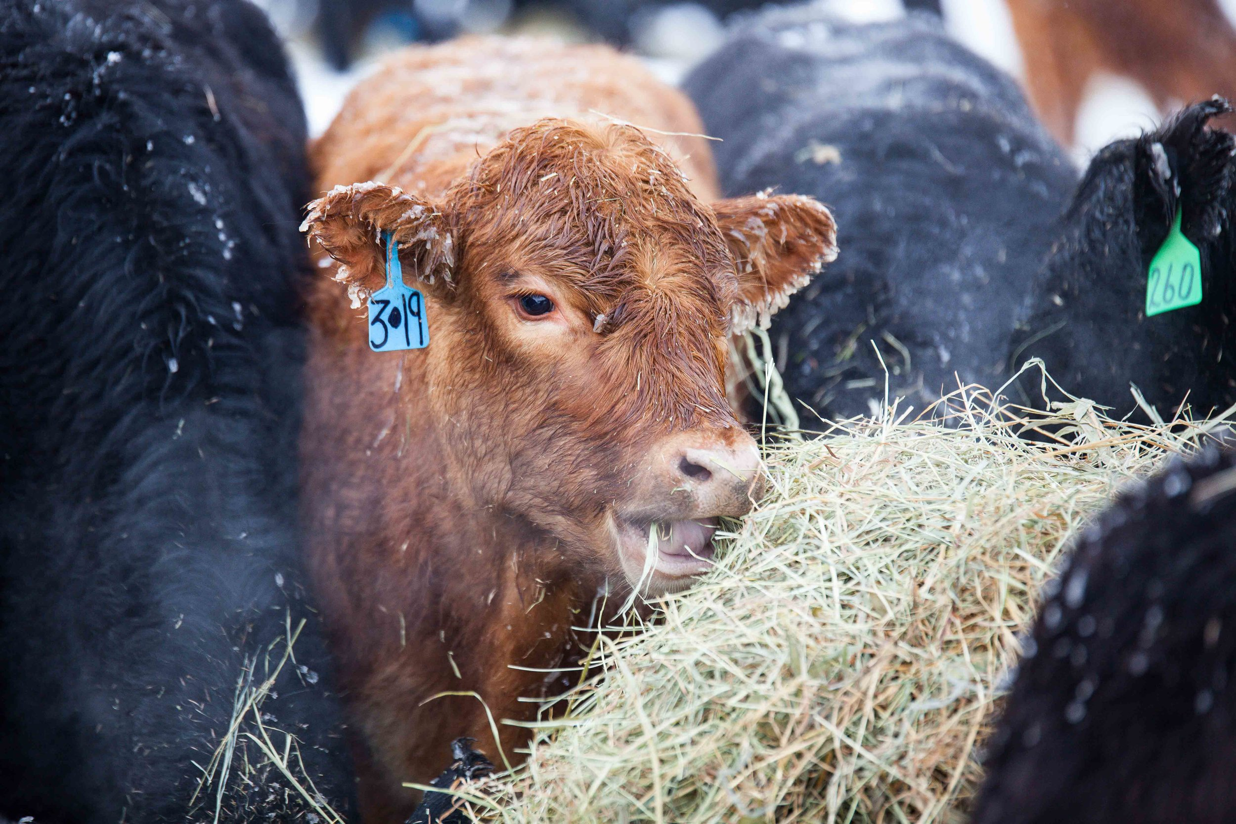 Calf eating hay