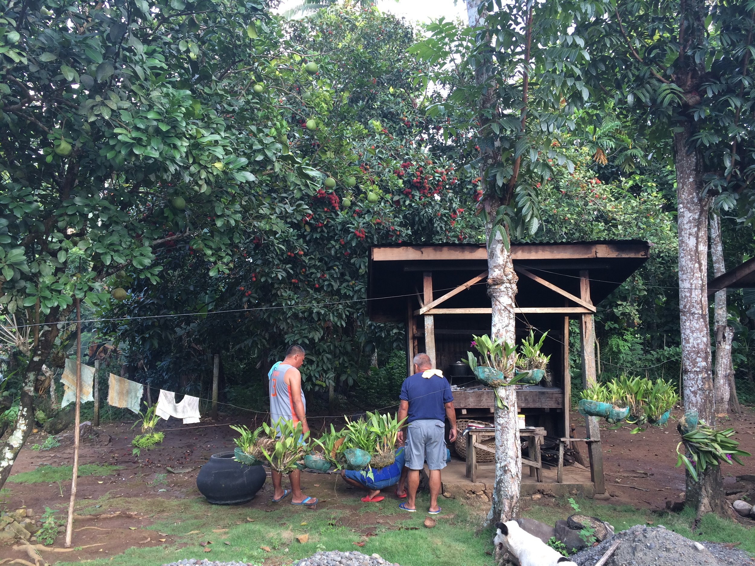 Our family backyard, where pomelo and rambutan replaced the coffees.