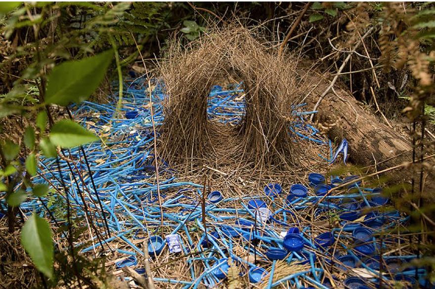 Satin-Bower-Bird-Nest-SML.jpg