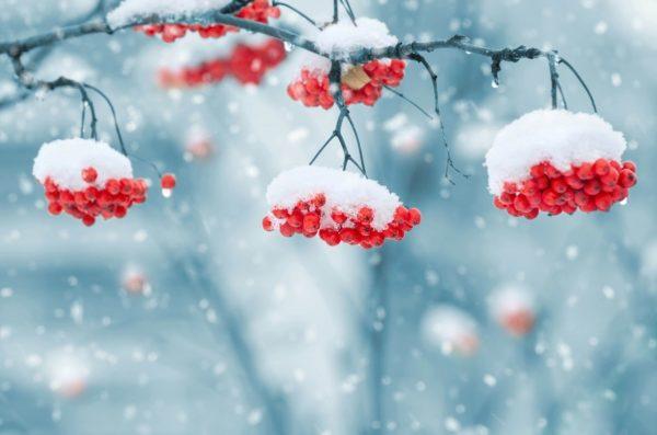 snow-on-berries-1379880_1280-600x397.jpg