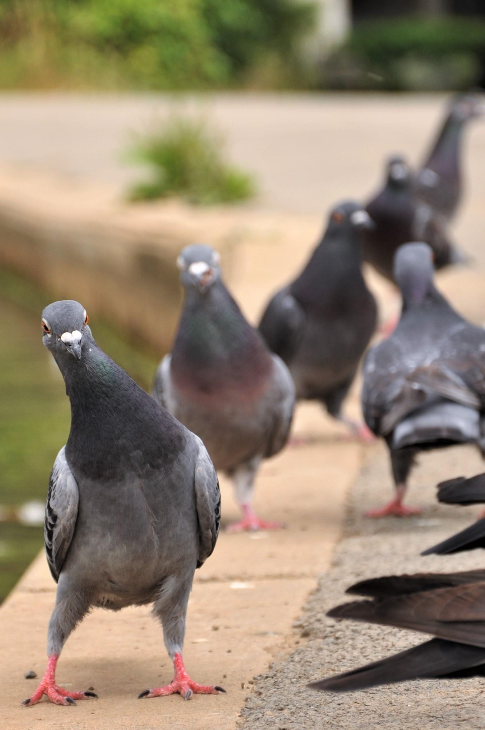 [BROCHURE] pigeons.jpg