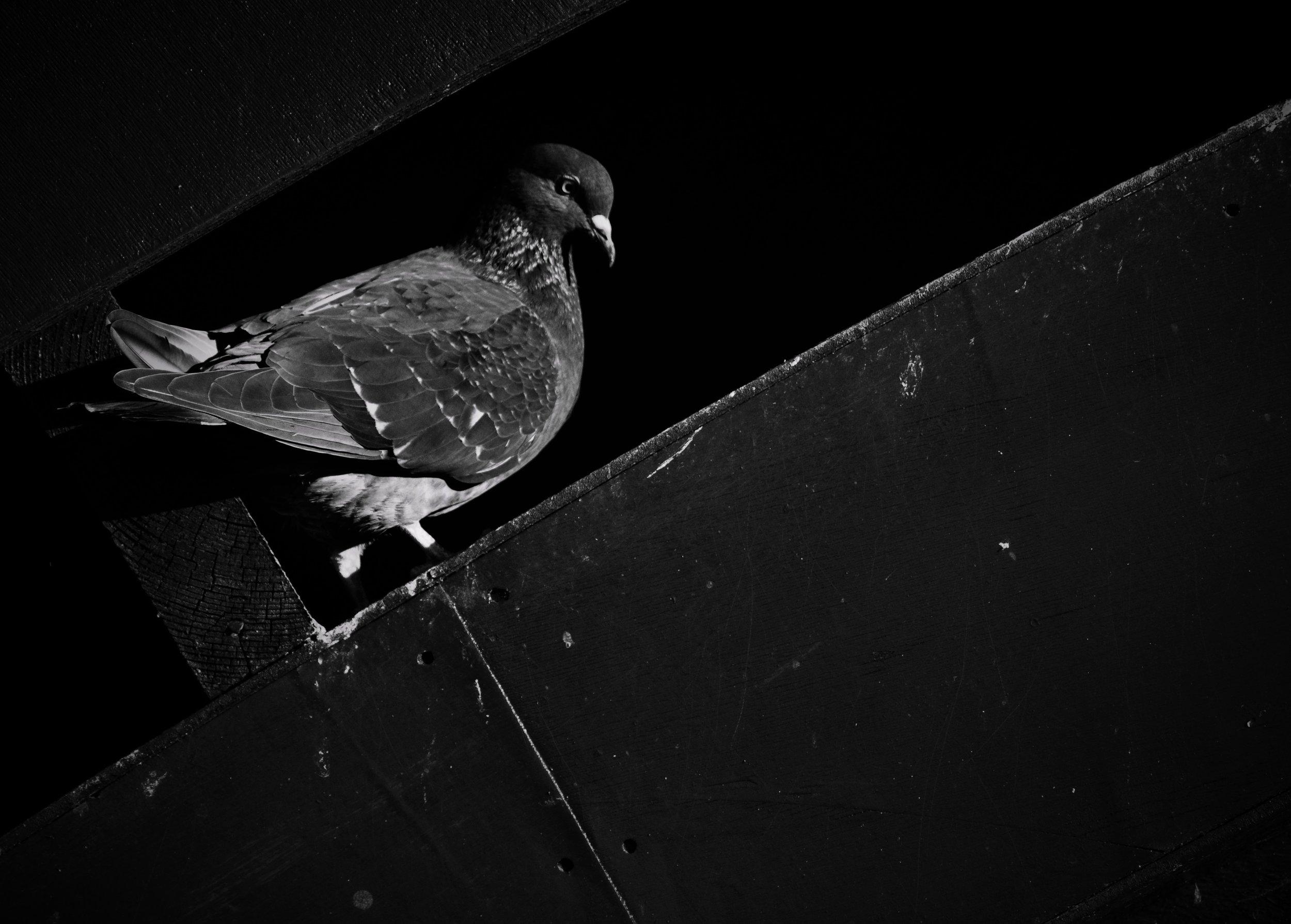 looking pigeon.jpg
