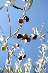 olives_1
