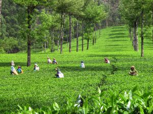 Tea_field kerala