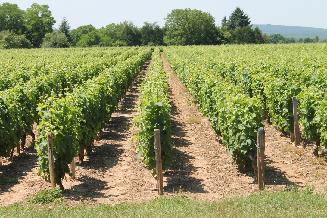 grape growing-viticulture -