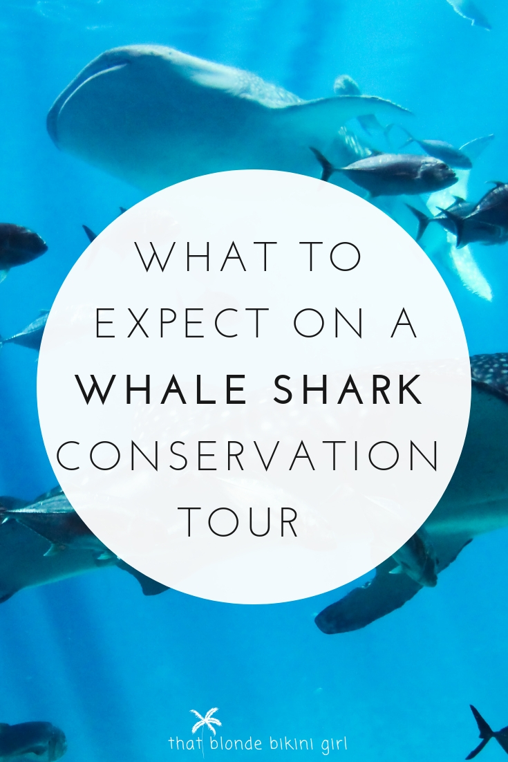 what to expect on a whale shark conservation tour