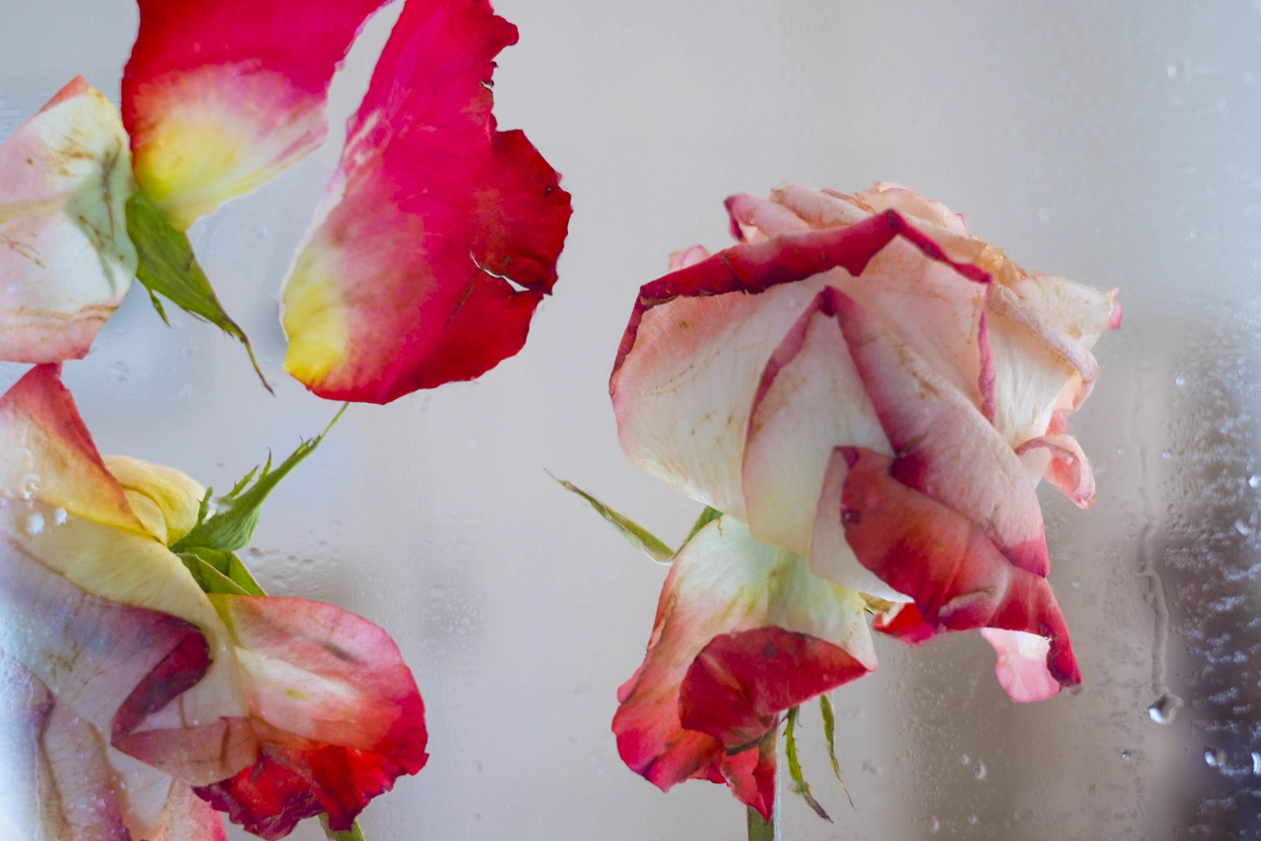rose remains