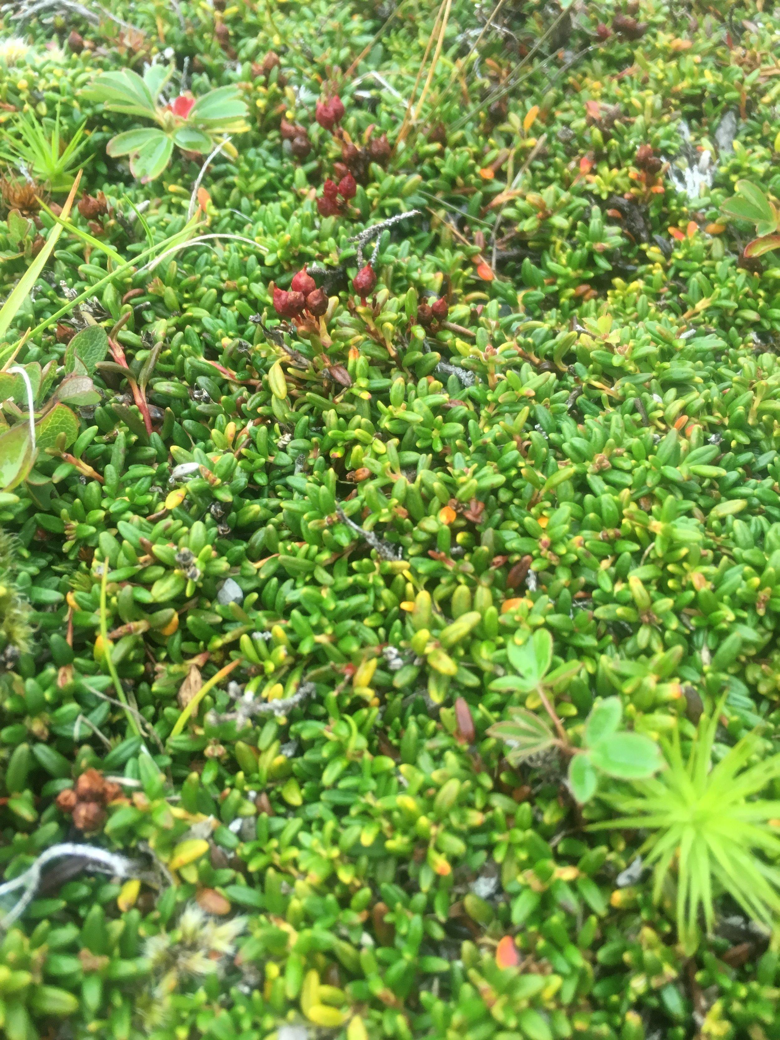 Alpine-azalea ( Kalmia  procumbens ) in fruit.