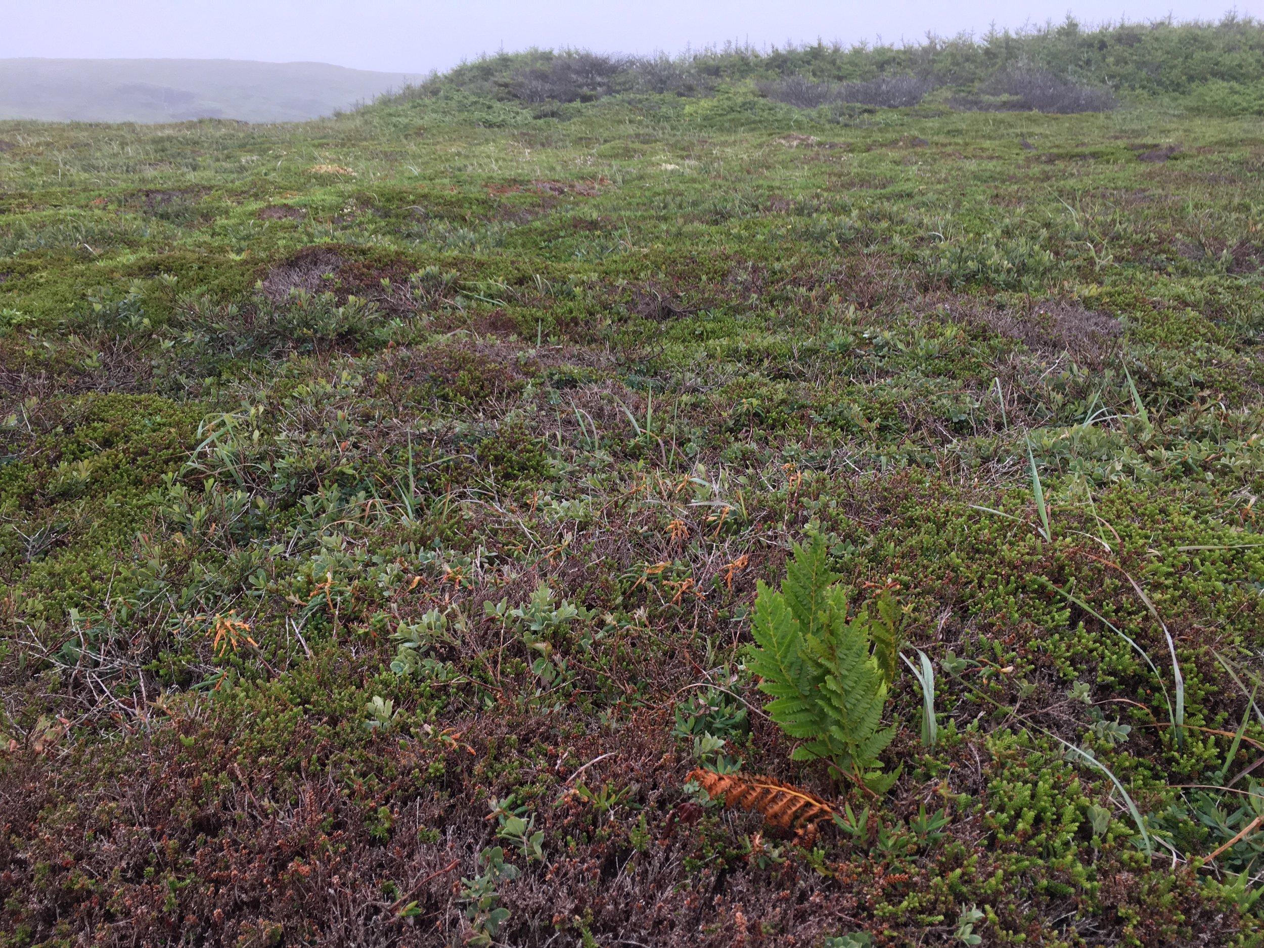 Habitat for alpine azalea at Mistaken Point Ecological Reserve.