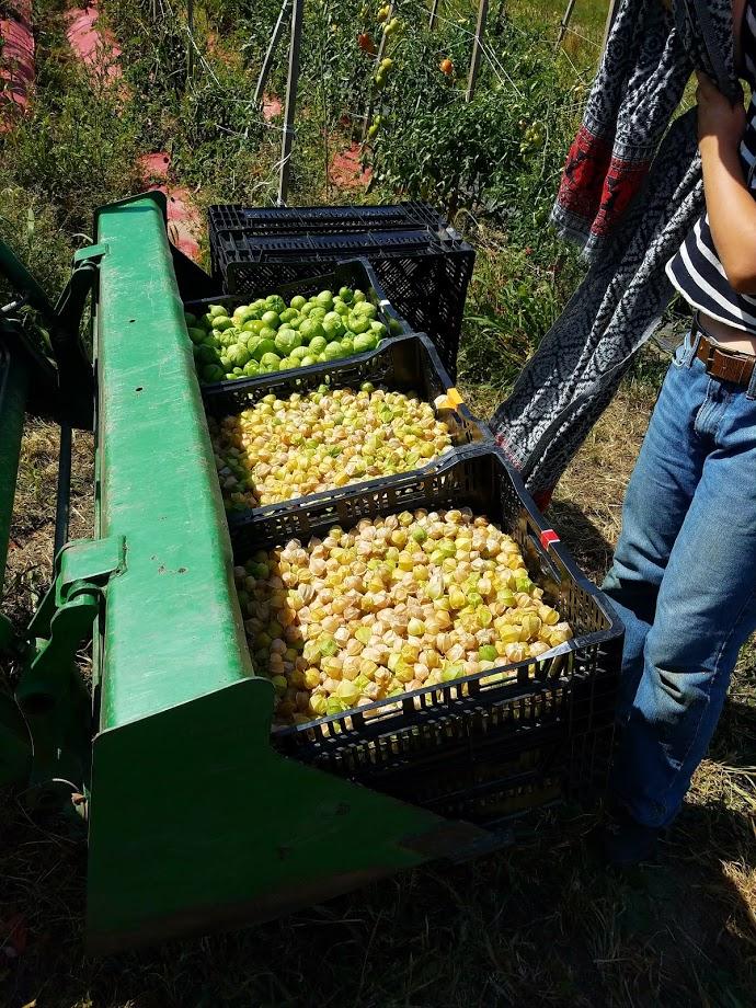 ground cherry haul.jpg