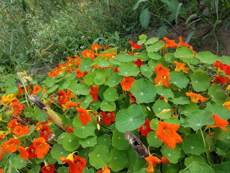 nasturtium undersown wtih sunflower.jpg