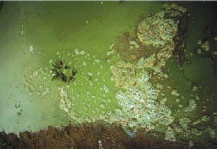 Close-up of the Microcystis bloom.