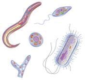 Protozoa >> Protozoan Parasites Safe Drinking Water Foundation